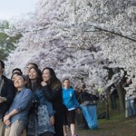Cherry flowers in Japanese traditions have special significance